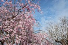 枝垂れ桜(4)