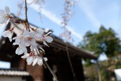 枝垂れ桜(2)