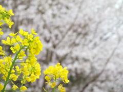 エドヒガンと菜の花(4)