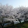 桜 エドヒガン01