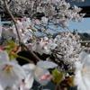 桜 エドヒガン14