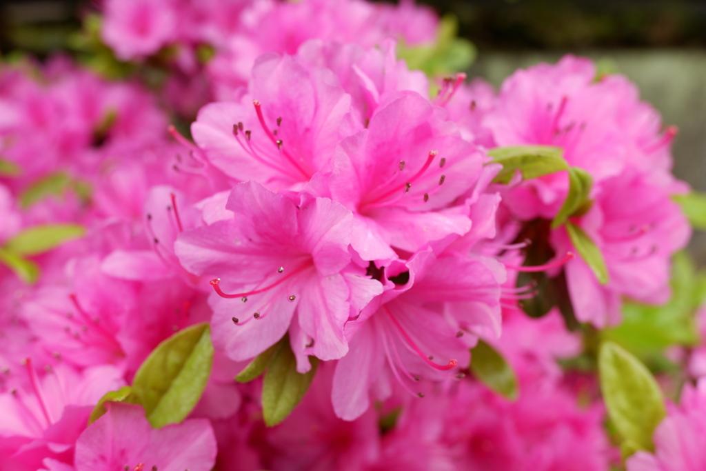春の花 ツツジ