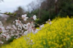 エドヒガンと菜の花(1)