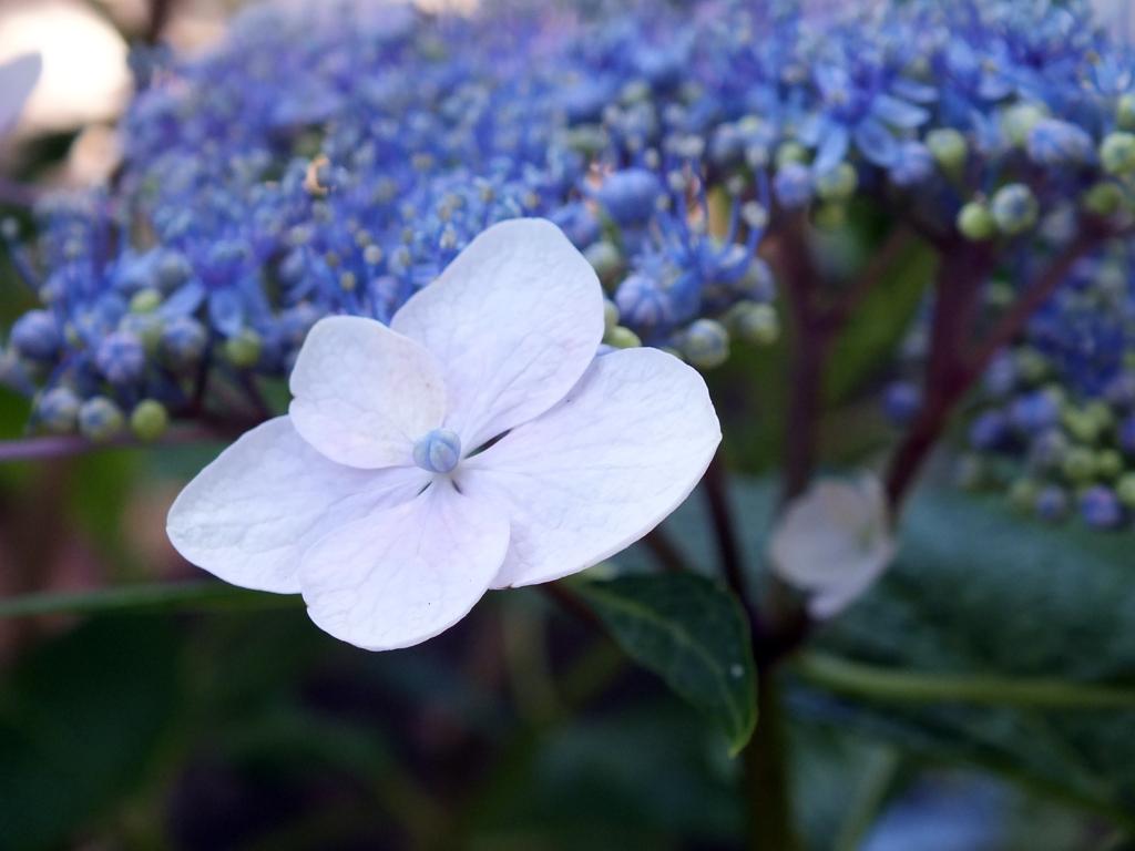 頼光寺の紫陽花(1)