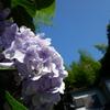 紫陽花と夏空