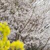 エドヒガンと菜の花(3)