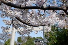 桜と神社(4)