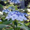 頼光寺の紫陽花(3)