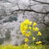 エドヒガンと菜の花(5)
