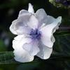 頼光寺の紫陽花(4)