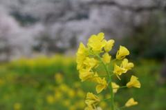 エドヒガンと菜の花(2)