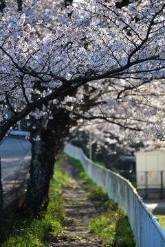 中学校裏門の桜