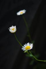 庭の片隅で 〜ヒナギク〜