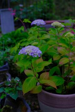 紫陽花 〜裏庭にて〜