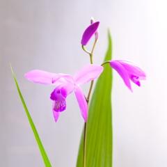 うちフォト2 ~紫蘭〜