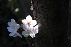 桜 スポット光