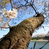 桜の太い枝
