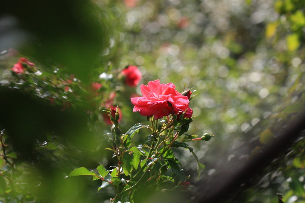 秋風に薔薇