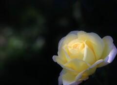 秋 薔 薇
