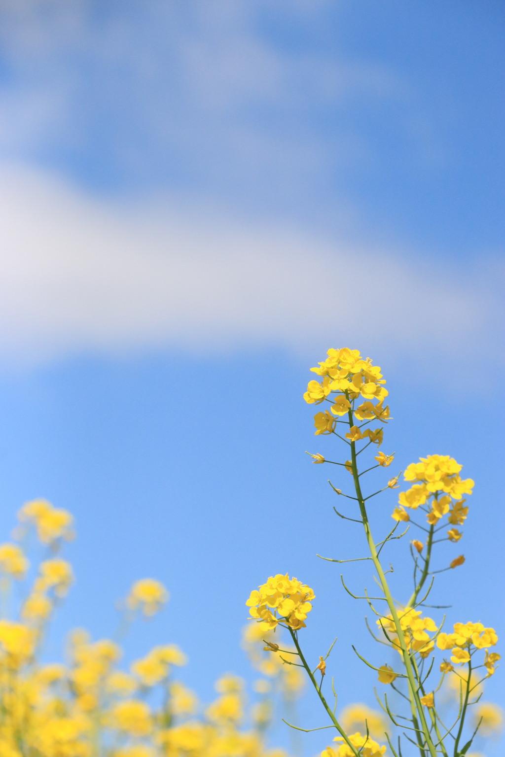 菜 の 花