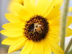ヒマワリとミツバチ その2