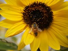 ヒマワリとミツバチ その3