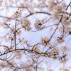 桜、天を舞う