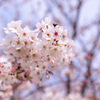 桜満開までもう一息