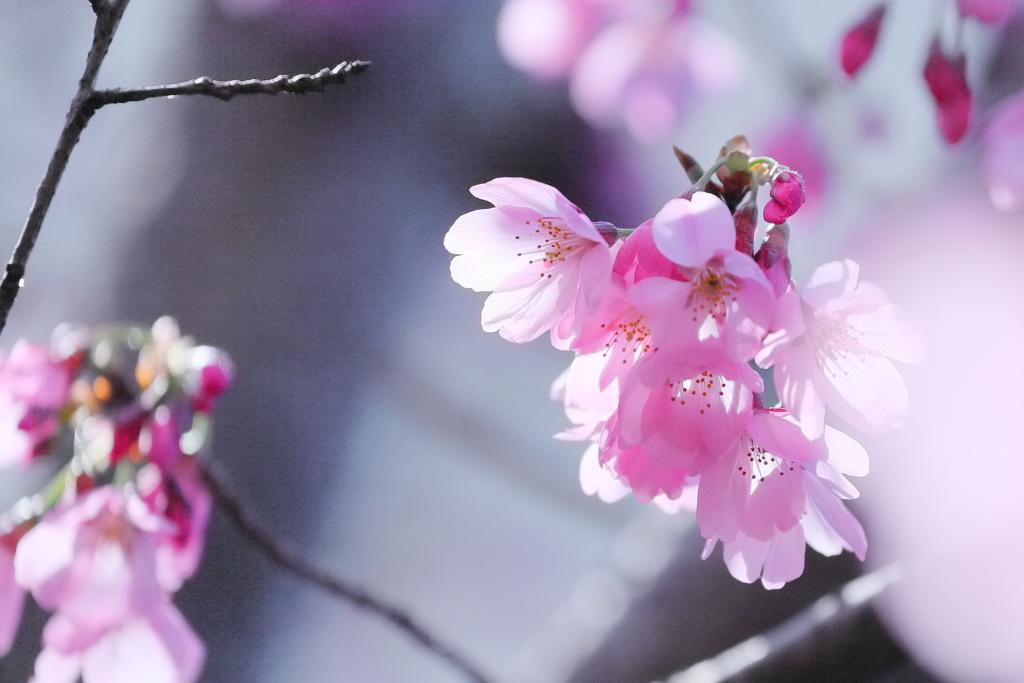 小彼岸桜 IMG_0328
