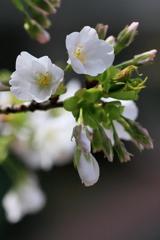 桜 2IMG_04030