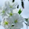 桜 IMG_0401
