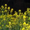散歩(菜の花) IMG_30