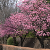 横浜緋桜 IMG_0411-1