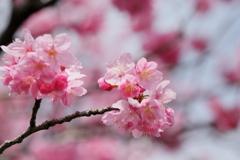 横浜緋桜IMG_0411