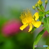 散歩写真・線路際に咲く花2