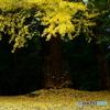 五所八幡宮の黃葉