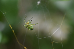 蜘蛛 巣作り