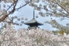 春恋し(仁和寺御室桜)