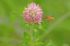 ムラサキツメクサと蜜蜂