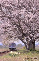 桜に心魅かれて