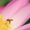 蜜蜂と蓮花