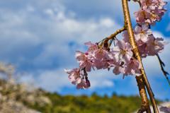 醍醐寺の桜1