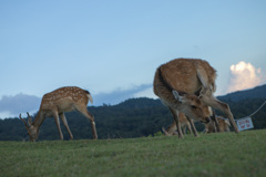 若草山山頂の鹿たちその16