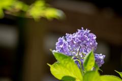 紫陽花39