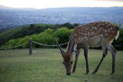 若草山山頂の鹿たちその10
