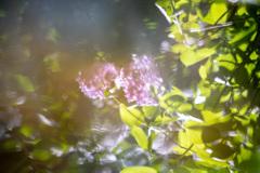 紫陽花43 湖面ゆらぎ