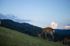若草山山頂の鹿たちその14