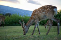 若草山山頂の鹿たちその11