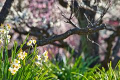梅林の水仙
