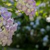 紫陽花26